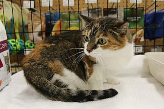 Calico Cat for adoption in Rochester, Minnesota - Cloe