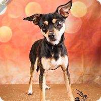 Adopt A Pet :: Calloway - Ottawa, KS