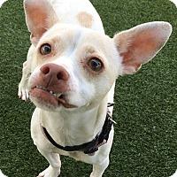 Adopt A Pet :: Horchata - Chula Vista, CA