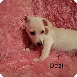 Chihuahua/Mixed Breed (Small) Mix Puppy for adoption in Hamilton, Ontario - Dezi