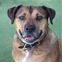 Mastiff/Rottweiler Mix Dog for adoption in Beverly Hills, California - Sugar Miller #A1116420 @ West