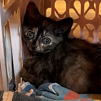 Calico Kitten for adoption in Geneseo, Illinois - Sunrise