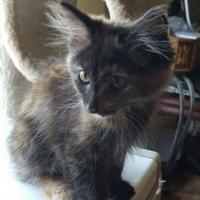 Domestic Longhair/Domestic Shorthair Mix Cat for adoption in Carson City, Nevada - Melany
