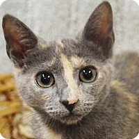 Domestic Shorthair Kitten for adoption in Huntley, Illinois - Zuzu