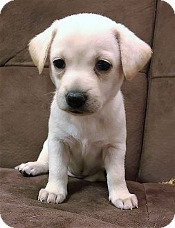 Chihuahua Mix Puppy for adoption in Garland, Texas - Milo