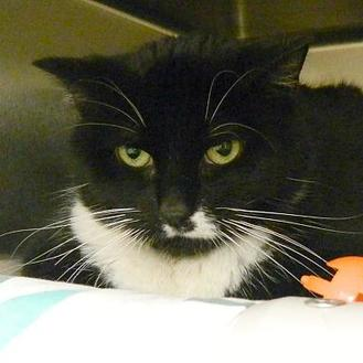 Domestic Shorthair/Domestic Shorthair Mix Cat for adoption in West Kennebunk, Maine - Zoey