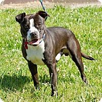 Adopt A Pet :: Tang - Troy, MI