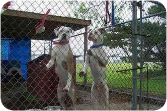 American Bulldog Dog for adoption in Baltimore, Maryland - The MD Twins