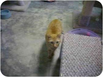 American Shorthair Cat for adoption in Deer Park, Texas - Mystro