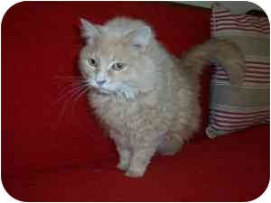 Maine Coon Cat for adoption in Columbus, Ohio - Tinkerbell2
