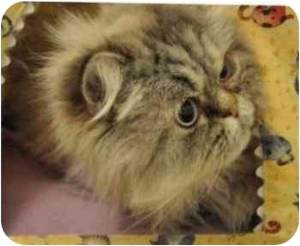 Himalayan Cat for adoption in Davis, California - Marley