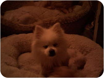 Pomeranian Dog for adoption in Studio City, California - Snow Flake