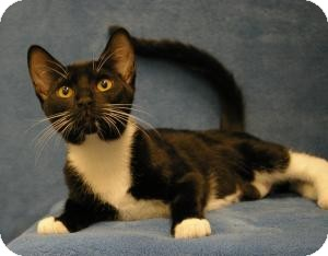 Domestic Shorthair Cat for adoption in Sacramento, California - Baby Girl