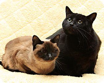 Siamese Cat for adoption in Bellingham, Washington - Stella