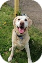 Labrador Retriever Dog for adoption in Tinton Falls, New Jersey - Bug
