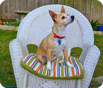 Chihuahua/Terrier (Unknown Type, Medium) Mix Dog for adoption in plano, Texas - Trigger the Terrific Dog