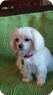Maltese Dog for adoption in Plano, Texas - Mouse