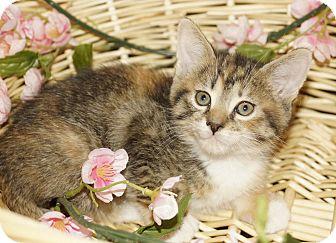 Domestic Shorthair Kitten for adoption in Berlin, Connecticut - Mercedes-PENDING