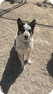 Husky/Shepherd (Unknown Type) Mix Dog for adoption in Douglas, Wyoming - Buster