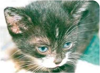 Domestic Shorthair Kitten for adoption in Rolling Hills Estates, California - Teri