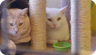 Domestic Shorthair Cat for adoption in Wayzata, Minnesota - Luke