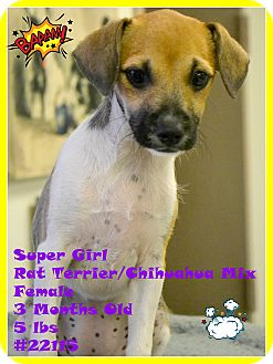 Chihuahua/Rat Terrier Mix Puppy for adoption in Beaumont, Texas - Super Girl
