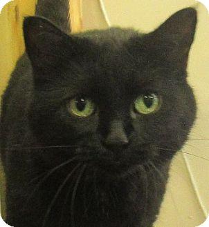 Domestic Shorthair Cat for adoption in Lloydminster, Alberta - Kay