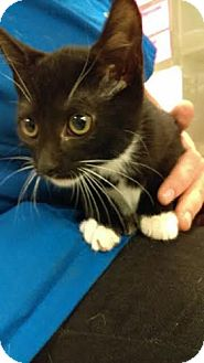 Domestic Shorthair Cat for adoption in Reisterstown, Maryland - Cinderella
