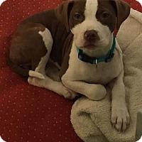 Adopt A Pet :: Haper - Waterbury, CT