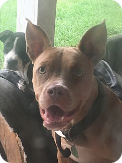 American Pit Bull Terrier/Staffordshire Bull Terrier Mix Dog for adoption in Waggaman, Louisiana - Dottie