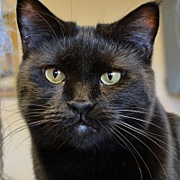 Domestic Shorthair Cat for adoption in Independence, Missouri - Herb