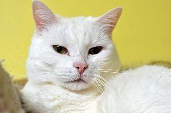 Domestic Shorthair Cat for adoption in Atlanta, Georgia - Summer161426