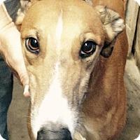 Adopt A Pet :: Beans - Spencerville, MD
