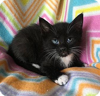 Domestic Shorthair Kitten for adoption in Tampa, Florida - Arabella