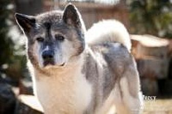 Akita Dog for adoption in Toms River, New Jersey - Percy