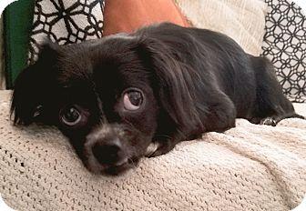 Papillon/Boston Terrier Mix Dog for adoption in Monrovia, California - Monty