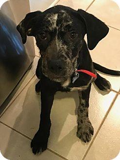 Great Dane Mix Puppy for adoption in Alpharetta, Georgia - Zeppelin