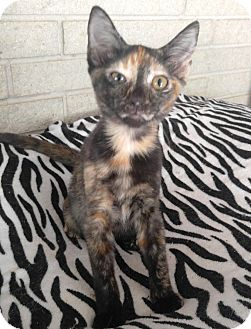 Domestic Shorthair Kitten for adoption in Houston, Texas - Eevee