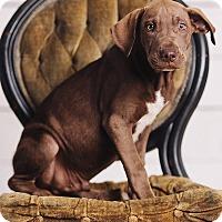 Adopt A Pet :: Neville Longbottom - Portland, OR