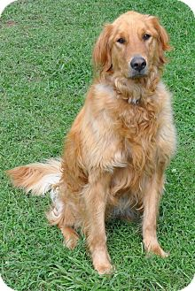 Golden Retriever Mix Dog for adoption in Harrisonburg, Virginia - Glory