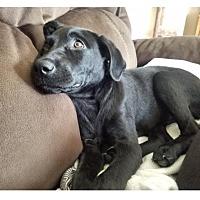 Adopt A Pet :: Piper - Oswego, IL