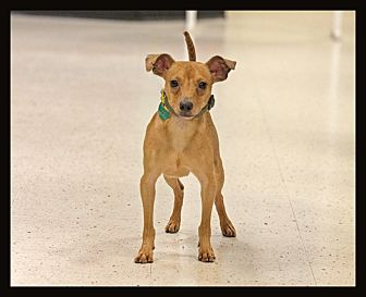 Jack Russell Terrier/Chihuahua Mix Dog for adoption in Detroit, Michigan - Soloman