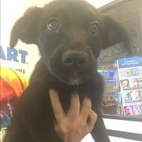 Adopt A Pet :: Pearl - LAKEWOOD, CA