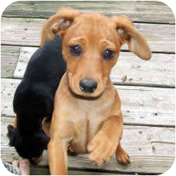 Miniature Pinscher Mix Puppy for adoption in Swiftwater, Pennsylvania - Mesha