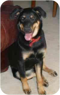 Rottweiler/Australian Shepherd Mix Dog for adoption in Gilbert, Arizona - Pumpkin