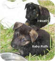 German Shepherd Dog Puppy for adoption in Dripping Springs, Texas - Baby Ruth & Heath
