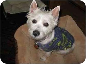 Westie, West Highland White Terrier Dog for adoption in Frisco, Texas - Margo