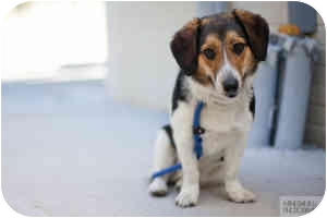 Beagle Mix Dog for adoption in Houston, Texas - Rollie