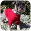 Photo 1 - Schnauzer (Miniature) Dog for adoption in Redondo Beach, California - Sherlock