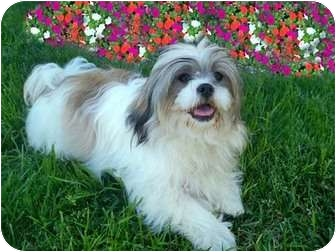 Lhasa Apso Puppy for adoption in Los Angeles, California - LEVI
